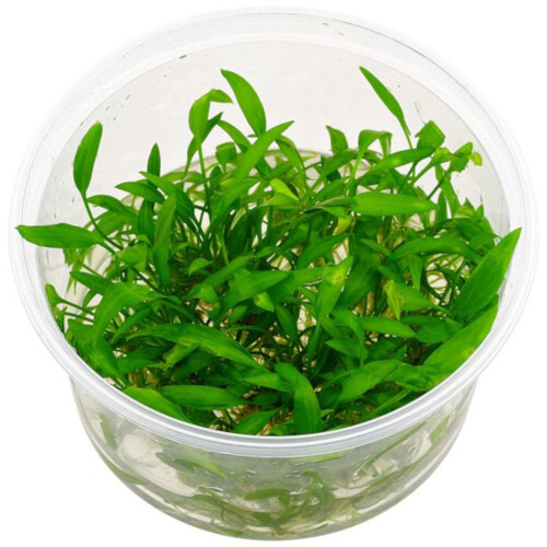 Cryptocoryne willisii (In vitro)