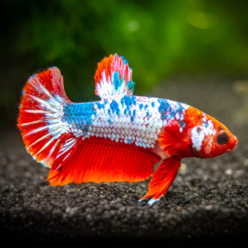 Betta macho Plakat