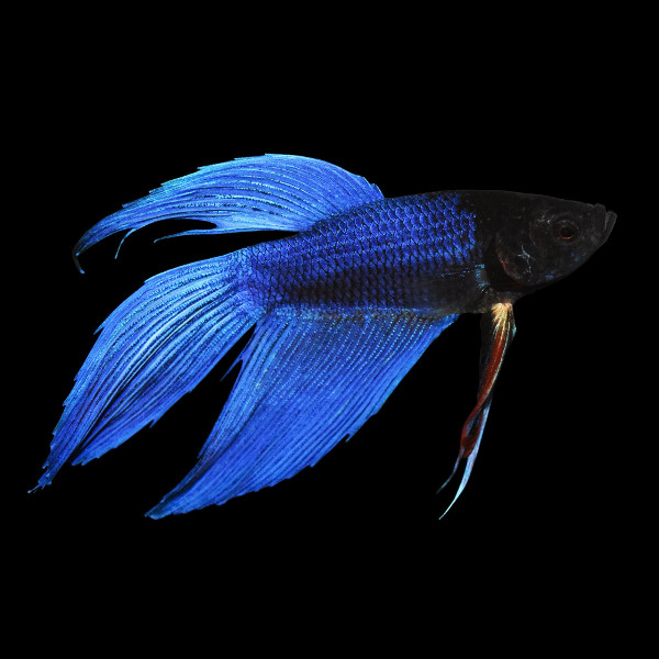 Betta macho azul S