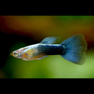 Guppy macho Azul Néon