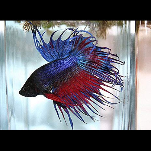 Betta macho cauda de coroa