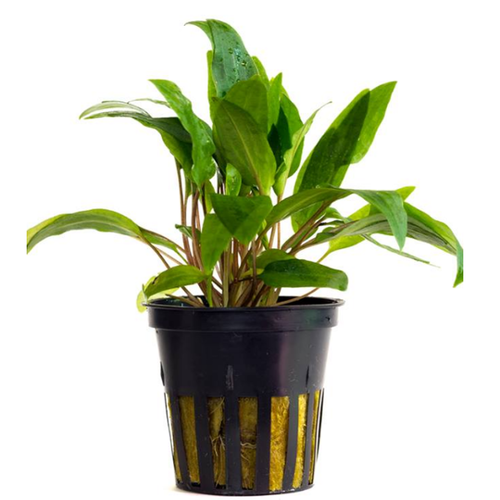 Cryptocoryne willisii (Vaso)