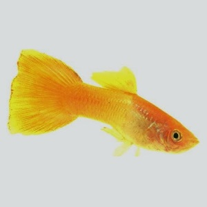 yellow_gold_guppy.jpg